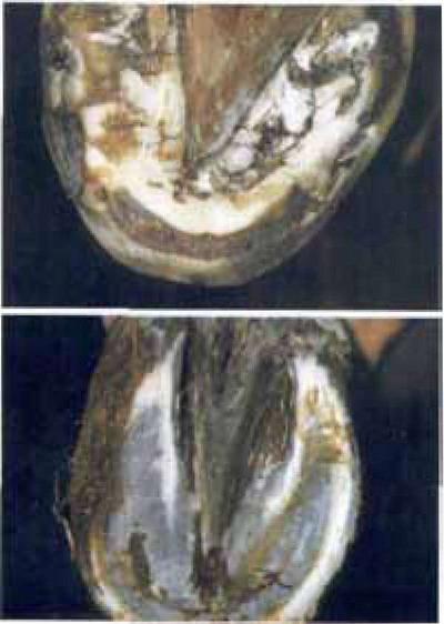 Внизу: абсцесс в области копыта, воспаление основы кожи ...: http://www.horselifes.ru/study-291-3.html